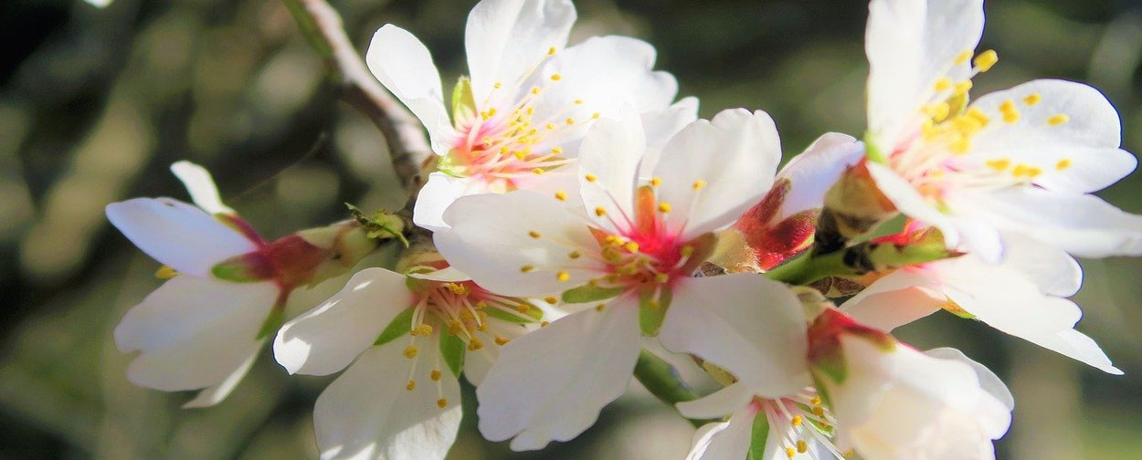 Festival of the Almond Trees in Flower