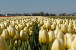 Amsterdam: Half-Day Flower Fields and Keukenhof Bicycle Tour