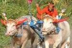 Makepung Bullock Races