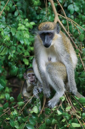 Monkey with baby at Barbados Wildlife Reserve