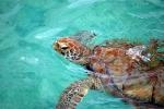 Barbados Museum's Turtle Walk, Richard Haynes Boardwalk - July