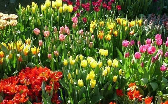 Tulpenfest im Holländischen Viertel