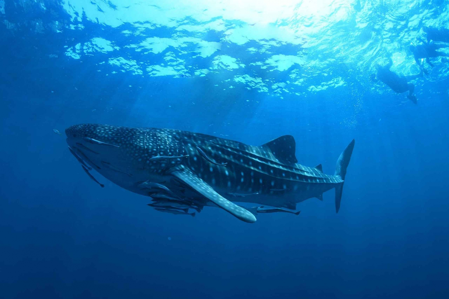 From Cancún: Swim with Whale Sharks Experience