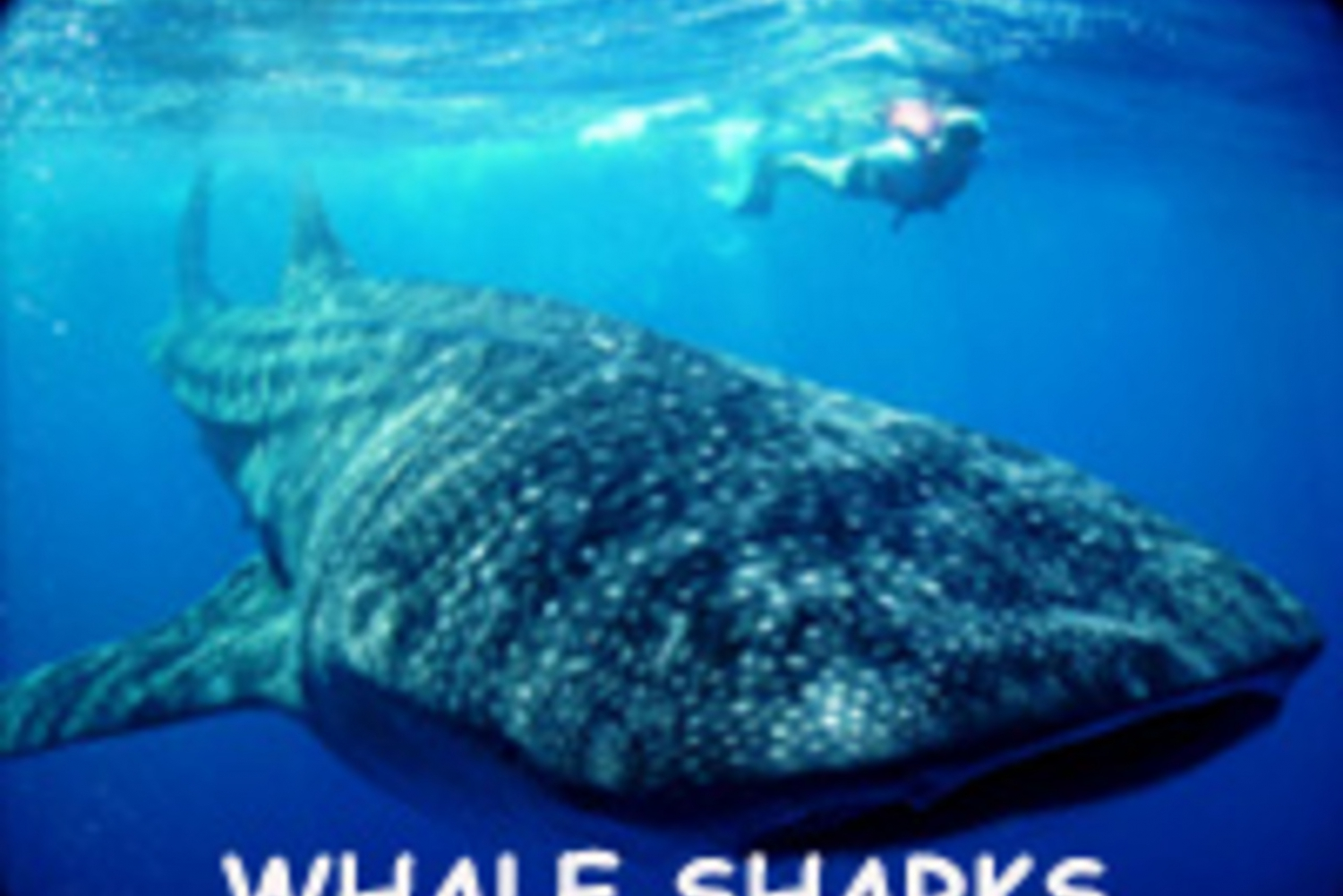 Whale Shark Safari Snorkeling tour
