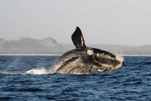 Gansbaai: Marine Big 5 Boat tour