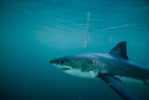 Gansbaai: Shark Cage Diving Experience