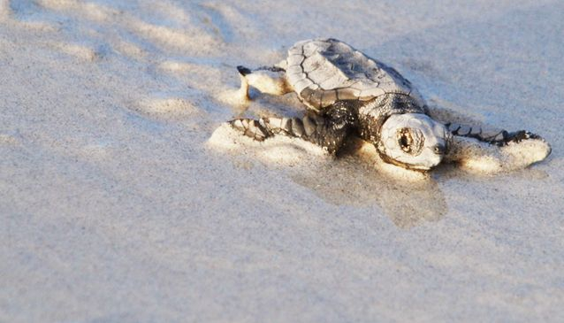Sea Turtles Nesting in Cape Verde