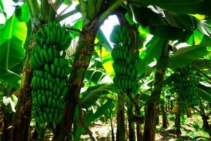 From Praia: Banana Plantation and Botanical Garden Tour