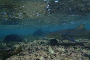 From Santa Maria: Guided Lemon Shark Watching