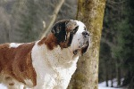 Saint Bernard breeding center