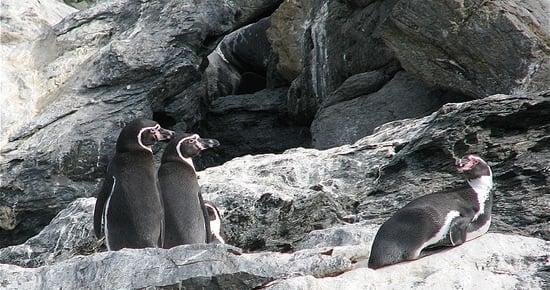 Humboldt Penguin National Reserve