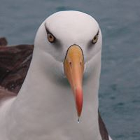 Albatross Encounters -Kaikoura