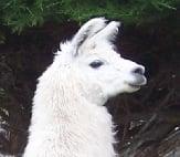 Kaikoura Llama Trekking  Kaikoura