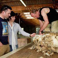 The Point Sheep Shearing Kaikoura
