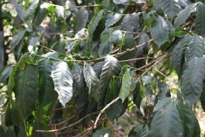 Bogotá to Hacienda Coloma Coffee Tour