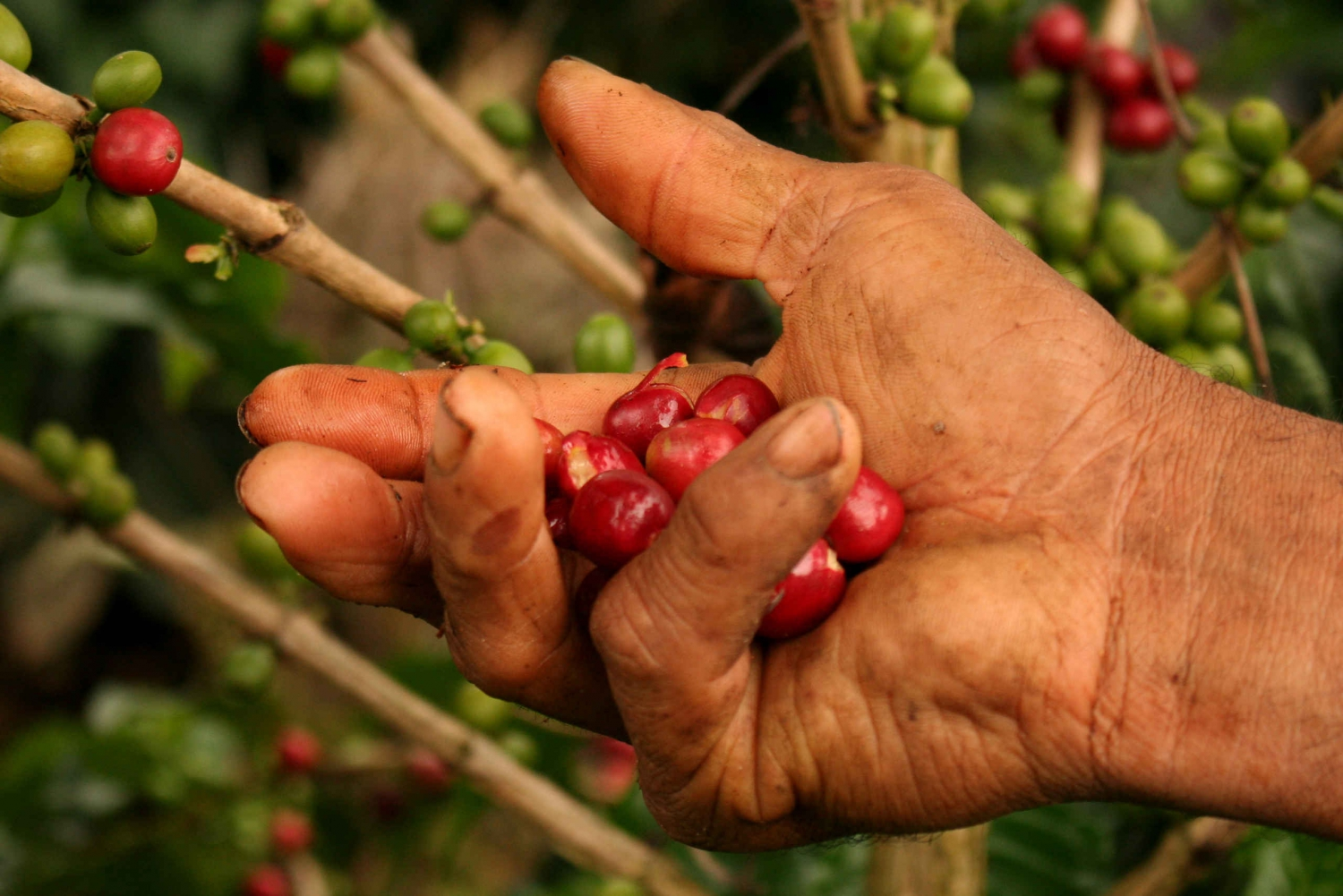 Cali: Authentic Coffee Tour Experience