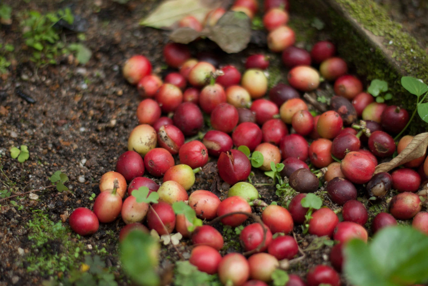 From Bogotá: Coffee Plantation Experience