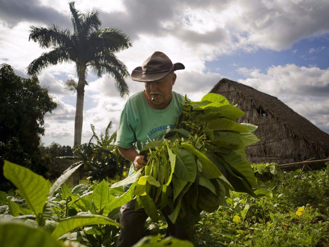 Come to know the tobacco farms in Cuba