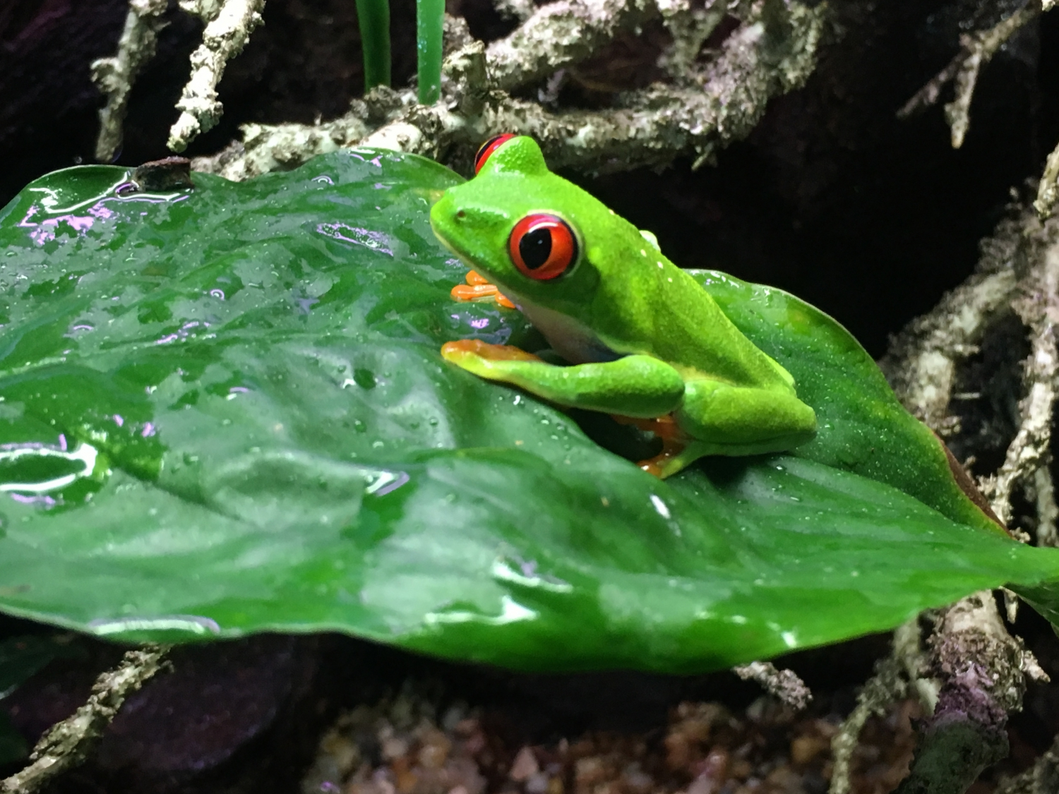 Meet the devil frogs and red-eyed frogs at Terra Natura Benidorm