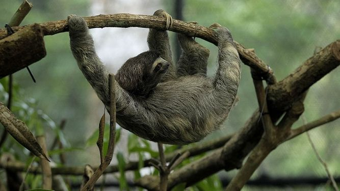 Panama Conservation celebrate the International Day of the Lazy Animal