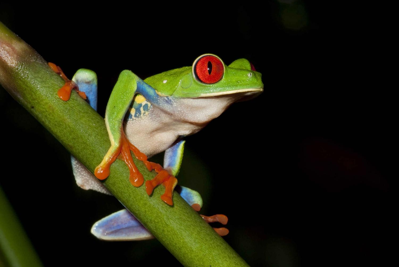 La Fortuna: Evening Frog Safari