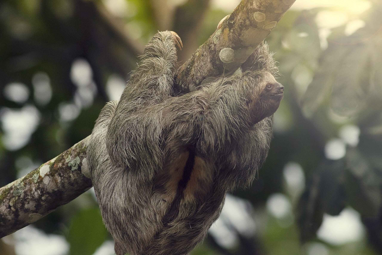 La Fortuna: Sloth Watching Experience