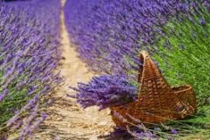 From Nice: Full-Day Provence & Lavender Tour