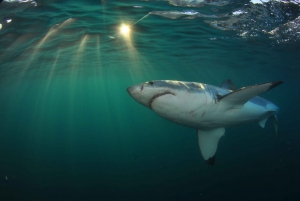 From Cape Town or Hermanus: Shark Cage Diving Experience