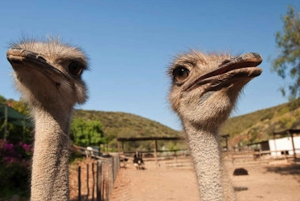 Oudtshoorn: Guided Ostrich Farm Tour