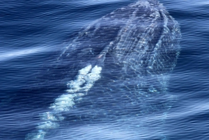 Half-Day Deluxe Whale Watching Gold Coast