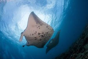 Big Island: Snorkel with Manta Rays - Manta Guarantee