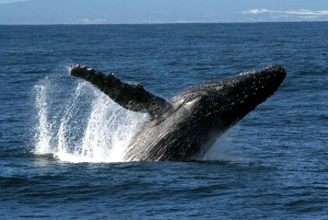 Hilo: Small-Group Humpback Whale Expedition