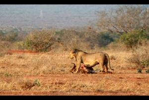 Tsavo East National Park and Salt Lick 3-Day, 2-Night Safari