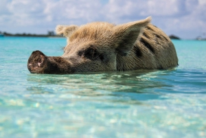 Koh Samui: Coral and Pig Island Private Long Tail Boat Tour