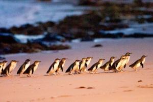 From Melbourne: Penguin Parade and Koalas Tour