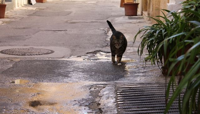 Cats of Malta