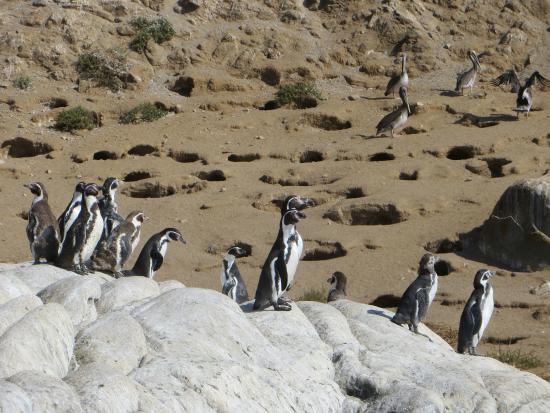 Humboldt Penguin Nesting Site
