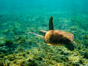 Swim with Turtles in Akumal Bay