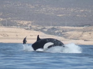 Whale Watching Experience in Cabo San Lucas