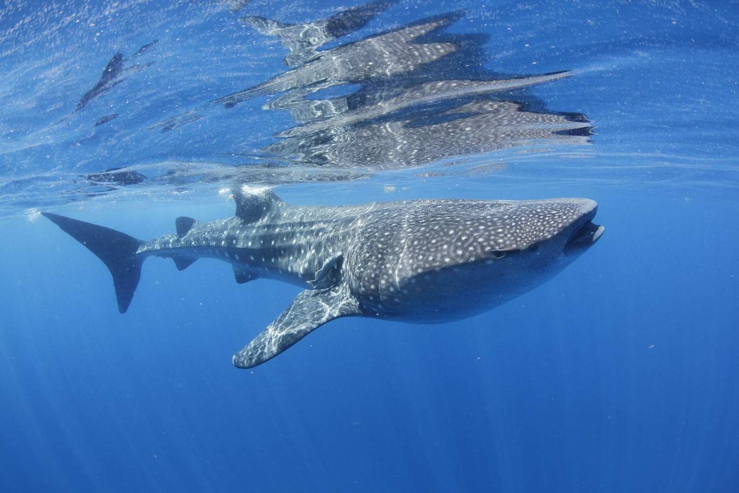 Snorkel Tour With The Pelagic Whale Shark
