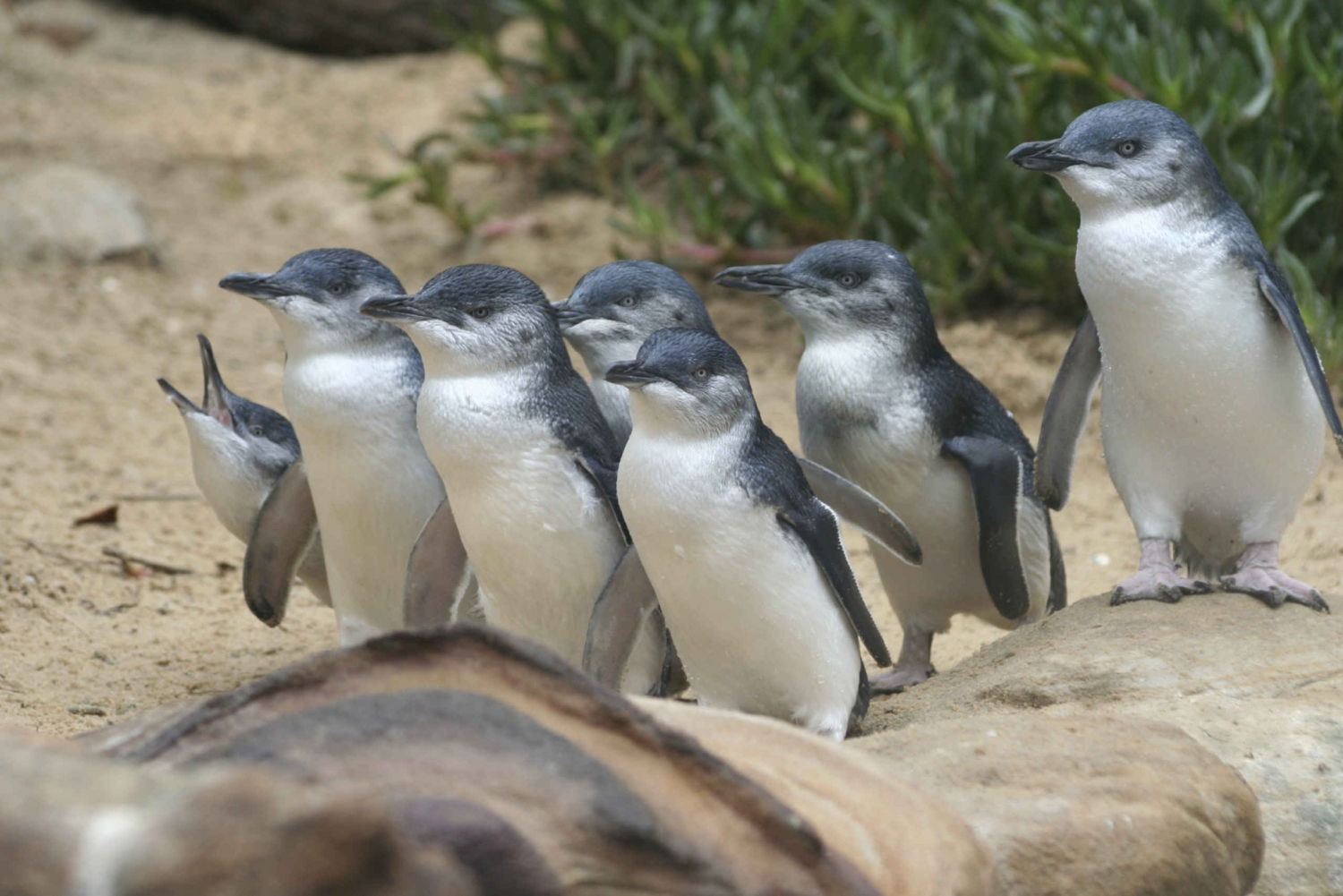 Penguin Parade to Phillip Island