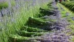 Warratina Lavender Farm