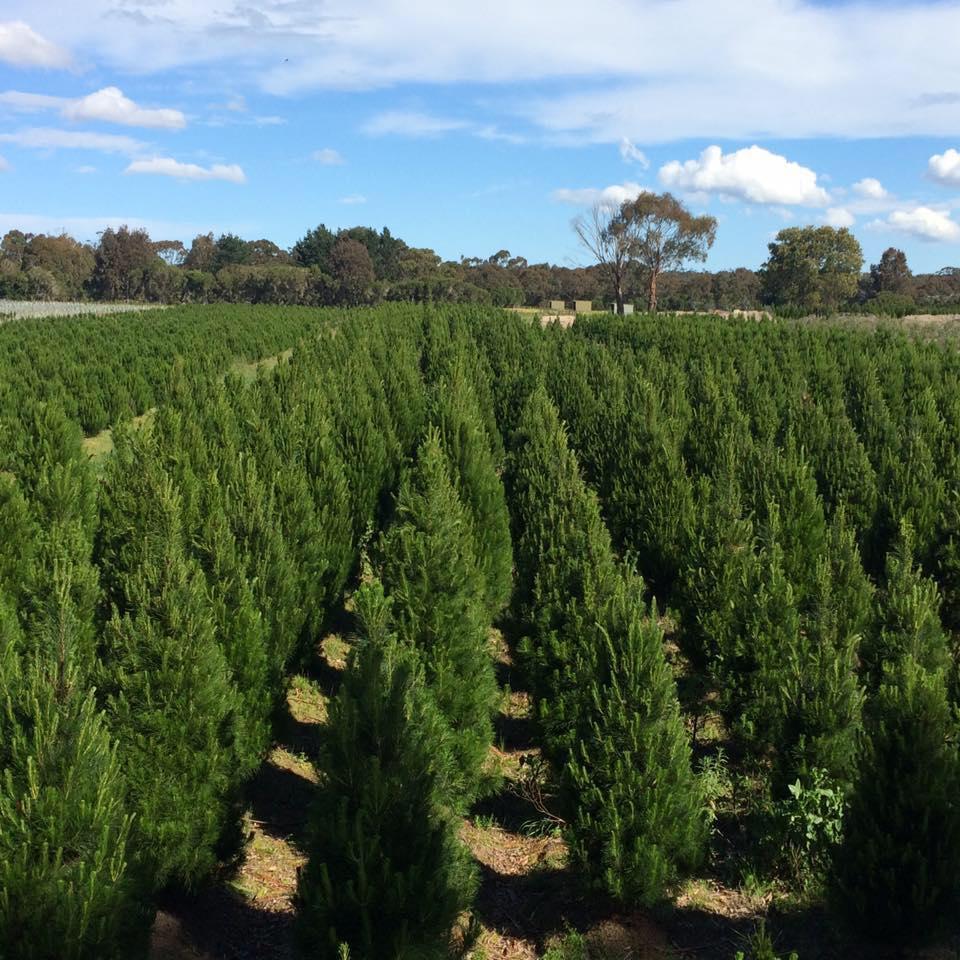 Christmas Tree Farm Photos.Christmas Tree Farm My Guide Melbourne
