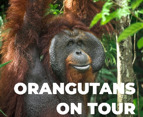 Orangutans On Tour