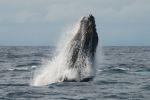 Whale Watching Panama
