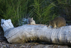 Busselton: Meet the Woylies, Nocturnal Animal Tour
