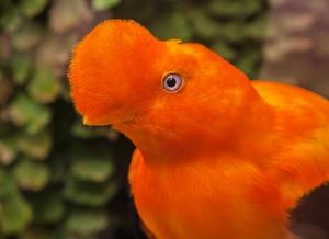 Birdwatching in Peru