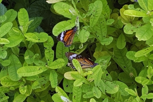 Butterfly Watching - Junin and Pasco