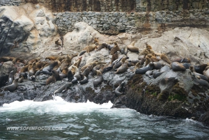Lima: Swim with Wild Sea Lions at Palomino Islands
