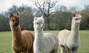 Observation of land mammals - South American Camelids